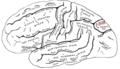 Gray726 parieto-occipital sulcus.png