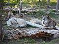 Gray Wolves (4746194998).jpg