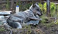 Gray wolf (Canis lupis) with radio collar and ear tags (14706017133).jpg