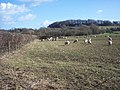 Grazing sheep near Panters Bridge, Fovant - geograph.org.uk - 359216.jpg