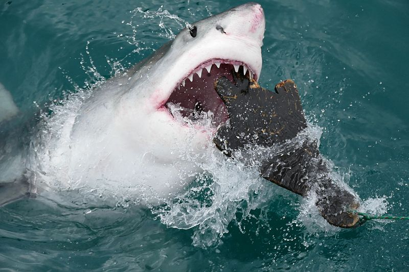 File:Great White Shark (Carcharodon carcharias) attacking a seal shaped decoy ... (29724038004).jpg