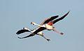 Greater Flamingo, Phoenicopterus roseus at Marievale Nature Reserve, Gauteng, South Africa (28803547883).jpg