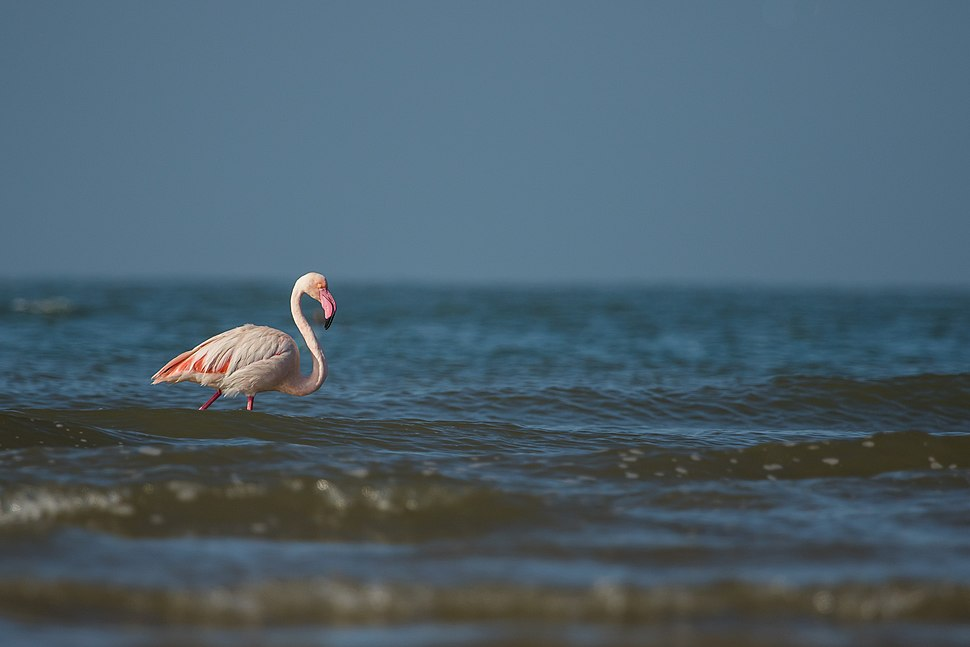 Greater Flamingo 3