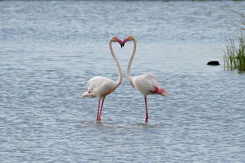 File:Greater Flamingoes (Phoenicopterus roseus) (25913174920).jpg