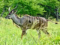 Greater Kudu (Tragelaphus strepsiceros) young male ... (51137708754).jpg