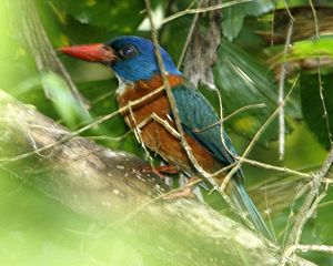 Green-backed Kingfisher (Actenoides monachus).jpg