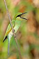Green Bee Eater with Dragonfly kill.jpg