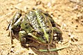 Green Frog (45647128).jpeg