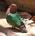 Green Pigeon (30241229593).jpg