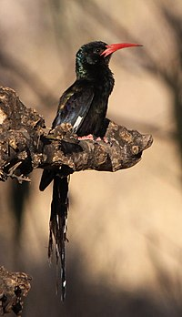 Green Wood Hoopoe, Phoeniculus purpureus (6041772130).jpg