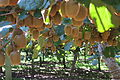 Green kiwifruit on vines - almost ready for harvesting.jpg