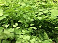 Green leaves 5 2019-06-22.jpg