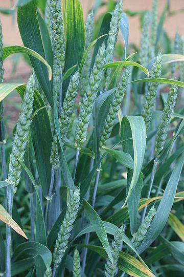 Green wheat.jpg