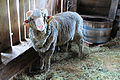 Greenfield Village merino.jpg