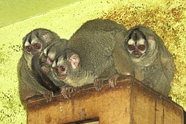 Grey-bellied Night Monkeys (Aotus lemurinus griseimembra).jpg