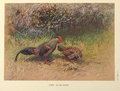 Grey Junglefowl by George Edward Lodge.png