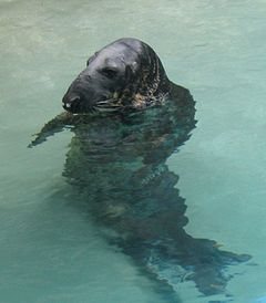 Grey Seal in water.jpg