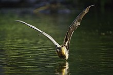 Grey headed flying fox - skimming water - AndrewMercer - DSC00530.jpg