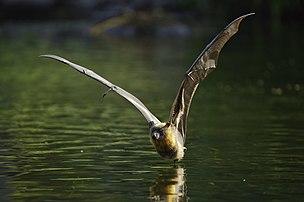 Une roussette à tête grise (Pteropus poliocephalus) en vol rasant la surface d'un plan d'eau du City Botanic Gardens de Brisbane. (définition réelle 9076×6028)
