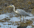 Grey heron, watching (9435750343).jpg
