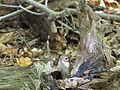 Griffy Woods - chipmunk - P1100483.JPG