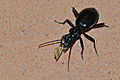 Ground Beetle (Anthia cinctipennis) (8524086060).jpg