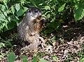 Groundhog (37663888071).jpg