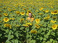 Guttorm in the sunflower field (193878348).jpg