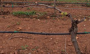 Canopy (grape) - The trunk of a grape vine trained along wires with one cordon extending horizontally to the left.