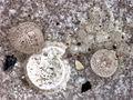 Gwynia capsula & polychaete.jpg