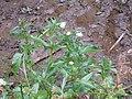 Gymnocoronis spilanthoides (Don) DC. (AM AK311971-3).jpg