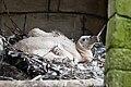 Gyps fulvus -DierenPark Amersfoort -chick-8a.jpg