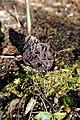 Gyromitra esculenta (27717088958).jpg