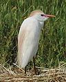 Héron Garde-boeufs en plumage nuptial.JPG