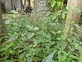 Hương nhu tía -Ocimum tenuiflorum 2.JPG
