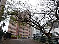 HKU Bonham Road University Drive carpark terrace tree crown Kingsfield Tower 景輝大廈 facade Lee Chung Yin Road Jan-2016.JPG