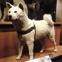 Hachiko Stuffed specimen