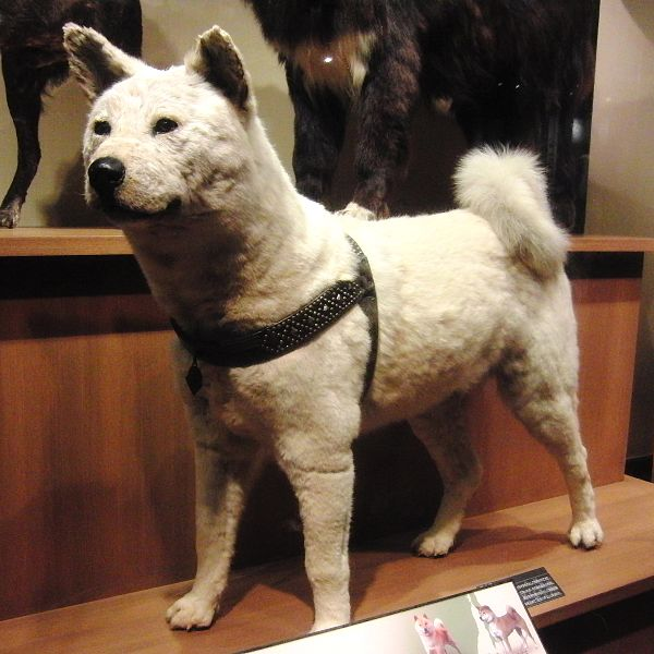 Berkas:Hachiko Stuffed specimen.jpg