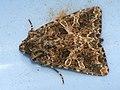 Hadena capsincola - Семенная совка обыкновенная (41023721842).jpg
