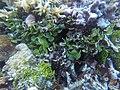Halimeda sp in Kapoposang Island.jpg