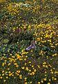 Hall island wildflowers bog saxifrage.jpg