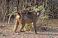 Hamadryas baboon (Papio hamadryas) mother and baby.jpg