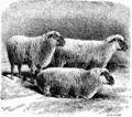 Hampshire Down sheep - Project Gutenberg eText 16270.png