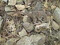 Hamster-bahri.jpg