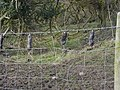 Hanging On The Old Barbed Wire - geograph.org.uk - 137643.jpg