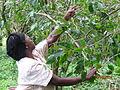 Harvesting Arabica coffee.JPG