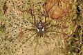 Harvestman Ventripila sp. (14708148269).jpg
