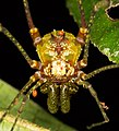 Harvestman from Ecuador (15179041710).jpg