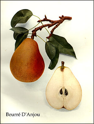 D'Anjou - Beurré d'Anjou, from The Pears of New York (1921) by Ulysses Prentiss Hedrick