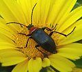 Heliotaurus ruficollis. Tenebrionidae - Darkling beetle - Flickr - gailhampshire (4).jpg
